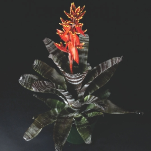Wholesaler of Bromeliads Kissimmee